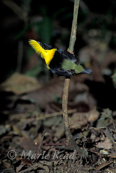 Golden-collared Manakin (Manacus vitellinus), male flares out his yellow beard during his courtship display, Soberania National Park, Panama<br /> Slide #B103-10
