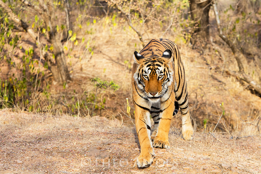 India, Rajasthan, Ranthambhore National Park, female tiger walking in forest