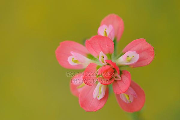Texas Paintbrush (Castilleja indivisa), blooming, Fennessey Ranch, Refugio, Coastal Bend, Texas Coast, USA