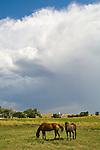 Horses graze as an afternoon thunderstorm builds overhead in the Sand Hills of Nebraska near Eli.