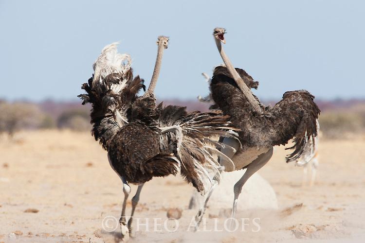 Botswana, Nxai Pan National Park, Kalahari, female ostriches (Struthio camelus) fighting