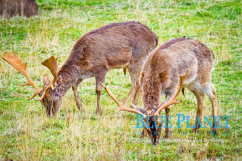 fallow deer, Dama dama, buck, with antlers, feeding, Cabarceno Nature Park, Cabarceno, Cantabria, Spain