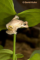 0201-0920  Cuban Treefrog (Cuban Tree Frog) on Plant Stem, Osteopilus septentrionalis  © David Kuhn/Dwight Kuhn Photography