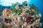 Anda, Bohol, Philippines; a colorful coral bommie filled with black sun corals, pink and orange soft corals, feather stars and reef fish juts out from a wall on the reef