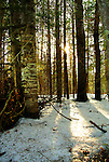 Late day sun shines through a stand of Chequamegon National Forest trees.