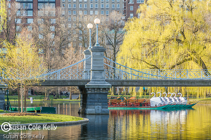 The Swan Boats and springtime in the Boston Public Garden, Boston, MA