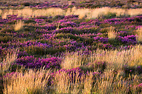 Heather in full bloom on the heath at Arne, Dorset, UK.