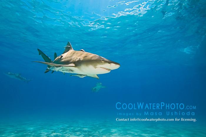Lemon Sharks, Negaprion brevirostris, with sharksuckers, Echeneis naucrates, West End, Grand Bahama, Bahamas, Atlantic Ocean.