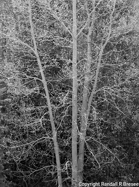 &quot;Birch on the Silver Thread Scenic Byway&quot; Colorado<br />