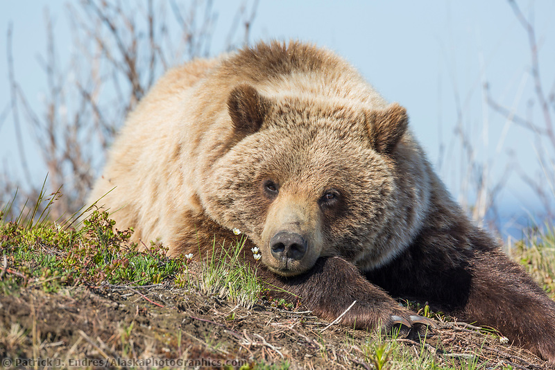 Young grizzly bear rests along the spring tundra in Denali National Park, Alaska.