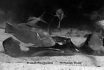 Southern Stingray surounded by fishes while feeding