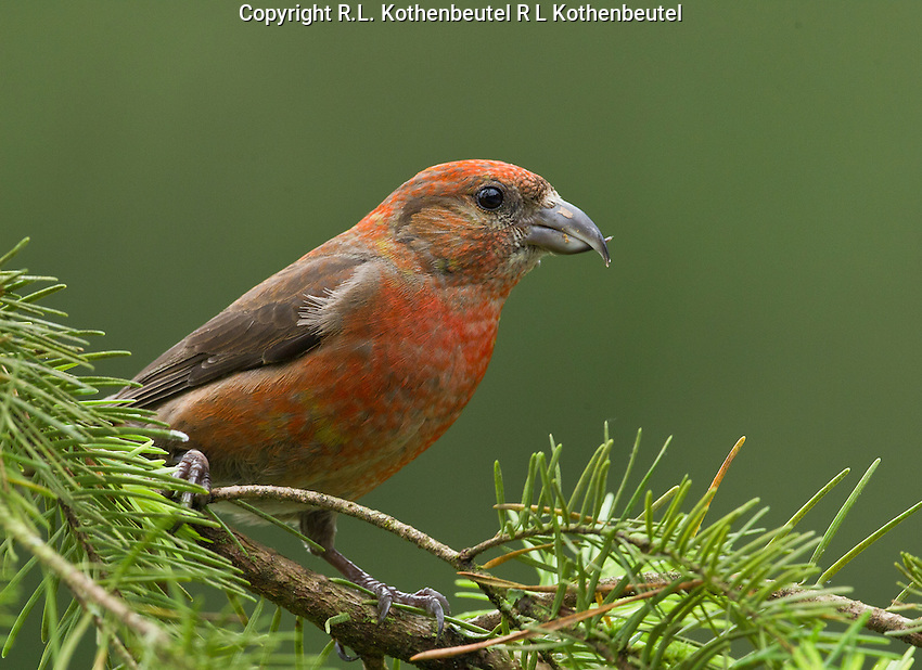 Red crossbill (Loxia curvirostra) Adult male perched on a Douglas fir bough. His coloration appears deeper red than others I have photographed.<br />