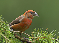Red crossbill (Loxia curvirostra) Adult male perched on a Douglas fir bough. His coloration appears deeper red than others I have photographed.<br /> Woodinville, King County, Washington State<br /> 6/2/2012