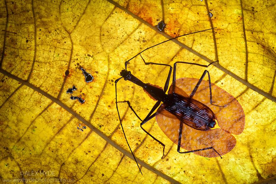 Violin Beetle (Mormolyce sp.) Maliau Basin, Sabah, Borneo, Malaysia.