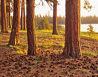 Old growth ponderosa pine (pinus Ponderosa). Delentment Lake, Oregon.