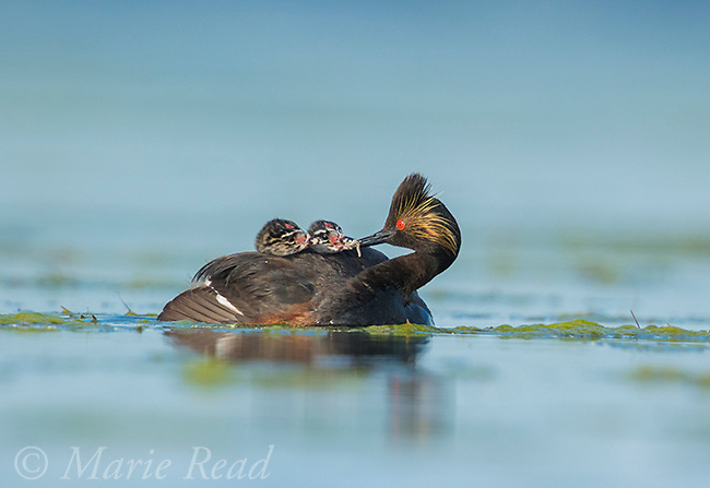 Eared Grebes (Podiceps nigricollis), adult feeds a damselfly nymph to one of two chicks riding on its back, Bowdoin National Wildlife Refuge, Montana, USA