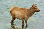 Elk Juvenile crossing Madison River, Yellowstone National Park, Wyoming