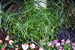 CYPERUS 'GRACEFUL GRASSES BABY TUT', PAPYRUS