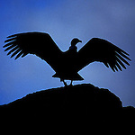 Silhouette of female Andean Condor with <br /> wings open. Torres del Paine National Park,Chile