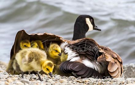 2014-05-08_15 Goslings-2 Goslings-Teen Goslings-Swan