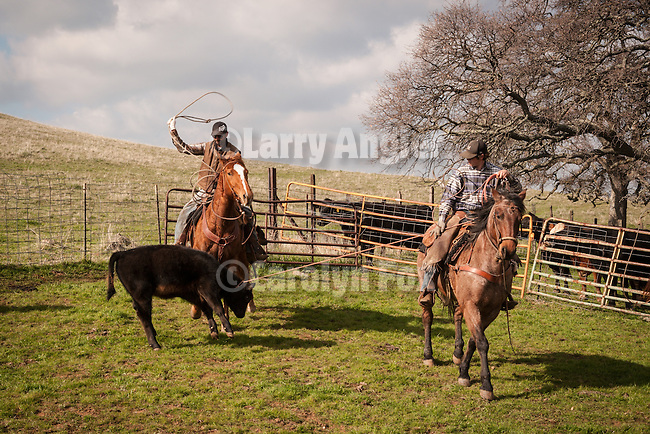 Cowboys at the Dell'Orto pasture near Sunnybrook, Calif. spring cattle marking and branding..Tom Wooster heels a calf as Mattley Dell'Orto has his head