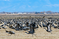 March 21, 2018: The massive sandhill crane dawn liftoff begins.  Each spring, as many as 27,000 sandhill cranes migrate through Colorado's San Luis Valley and the Monte Vista National Wildlife Refuge, Monte Vista, Colorado
