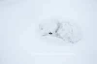 01863-01613 Arctic Fox (Alopex lagopus) curled up in winter Churchil Wildlife Management Area Churchill, MB