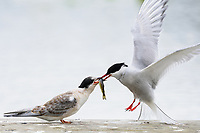 A juvenile Arctic tern receives a small fish from its mother after begging from a dock on Sport Lake near Soldotna, Alaska.