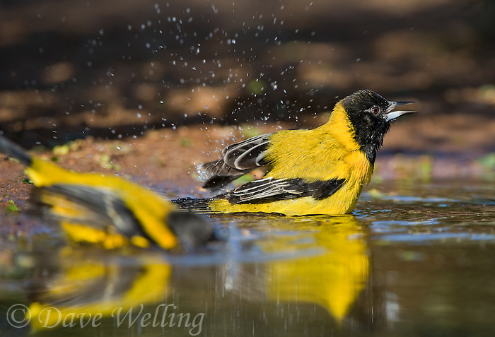 561850014 a wild pair of audubon's oriole icterus graduacauda bathe in a small pond on beto gutierrez santa clara ranch hidalgo county lower rio grande valley texas united states