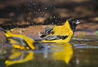 561850014 a wild pair of audubon's oriole icterus graduacauda bathe in a small pond on beto gutierrez santa clara ranch hidalgo county lower rio grande valley texas united states