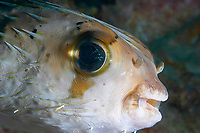 An amazingly friendly freckled or fine spotted pufferfish Diodon holocanthus, Richelieu rock, Andaman Sea, Thailand, Indian Ocean, Asia