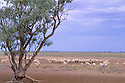 Sheep drinking at trough.. outback Queensland
