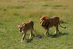 Africa  Serengeti National Park lions