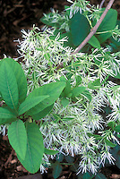 Chionanthus virginicus Fringe Tree in spring bloom
