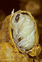 BU13-002b   Bumblebee - pupae in wax cell - Bombus impatiens