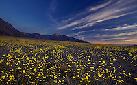 Wildflowers dominate the landscape at Death Valley National Park, California