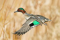 Adult male green-winged teal in flight with down-stroked wings revealing the bright green speculum.<br />