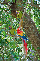 military macaw, Ara militaris, and scarlet macaw, Ara macao, perched in a tree, Honduras, Central America