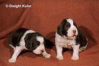 SH21-006z  Dog - English Springer puppies 11 weeks old