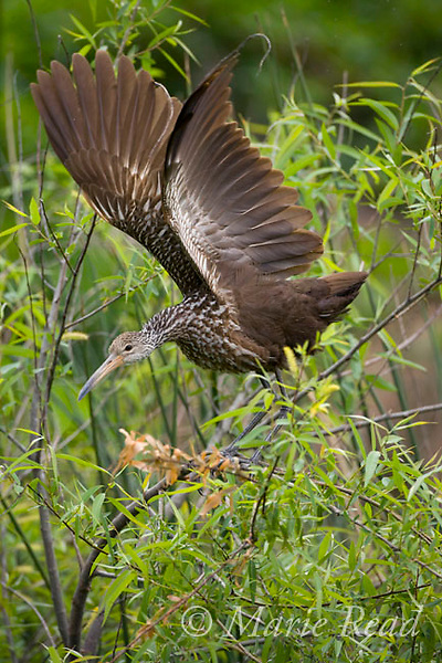 Limpkin (Aramus guarauna), stretching its wings after preening, Osceola County, Florida, USA