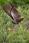 Limpkin (Aramus guarauna), stretching its wings after preening, Osceola County, Florida, USA