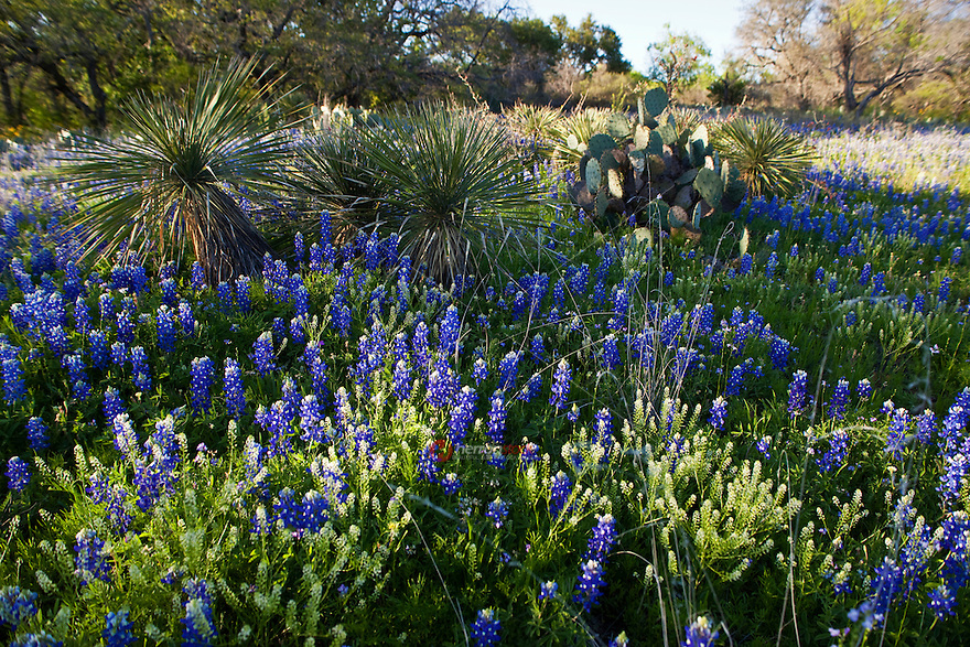 Spring Bluebonnets along side Yucca and Prickly Pear Cactus in Texas Hill Country, Lake Buchanan