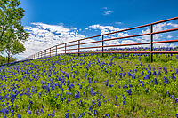 Bluebonnets along a fence in this serene setting with a nice blue sky white puffy clouds and large trees it leads you eye down the fence line to these wonderful bluebonnets landscape.