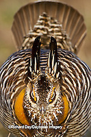 00842-04201 Greater Prairie-Chicken (Tympanuchus cupido)  male booming/displaying on lek Prairie Ridge State Natural Area Jasper Co, IL