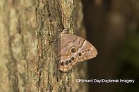 03481-00109 Southern Pearly-Eye (Enodia portlandia) Big Oak Tree State Park Mississippi County, MO