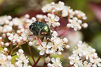 Gemeiner Rosenkäfer, Goldkäfer, Gold-Rosenkäfer, Goldrosenkäfer, Blütenbesuch, Cetonia aurata, rose chafer