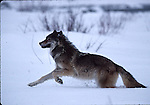 gray wolf running in snow