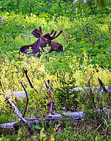 A bull moose along the Death Canyon Trail in Grand Teton National Park, Wyoming.