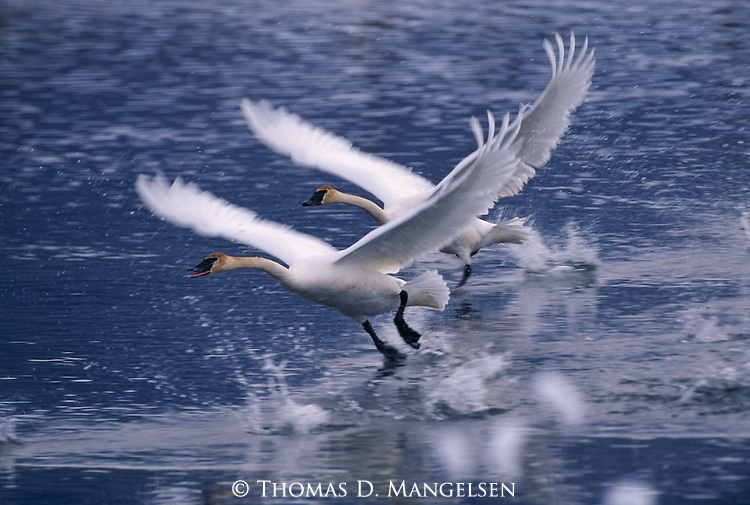 Trumpeter swans taking off from lake.