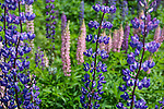 Lupines in Deer Isle, Maine, USA
